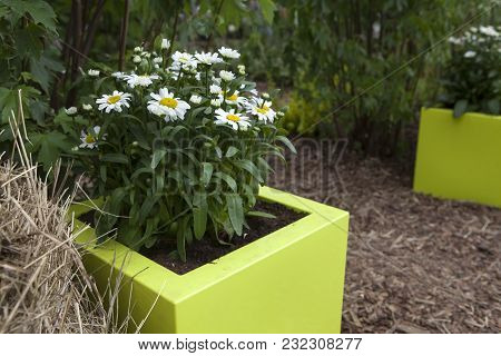 Decoration Of Street. White Daisy In Yellow Vase.
