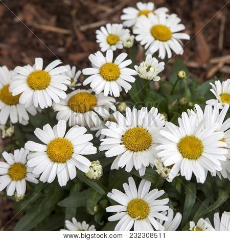 Decoration Of Street. White Daisy In The Park