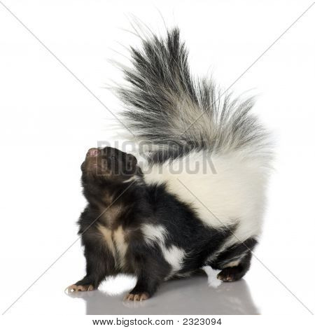 Striped Skunk - Mephitis mephitis in front of a white background poster