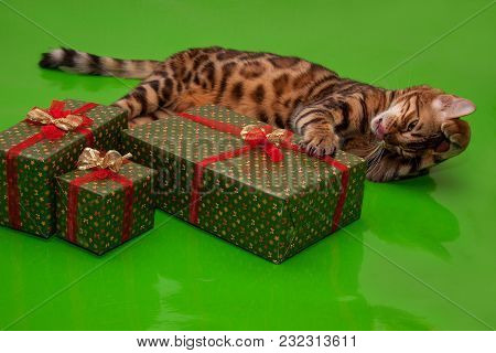 Beautiful Bengal Cat Is Lying Near His Gift. Pet Animals. Traditional Holidays.