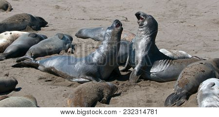 Northern Elephant Seals Fighting At The Piedras Blancas Elephant Seal Colony On The Central Coast Of