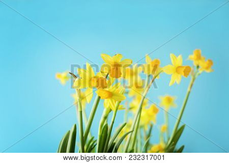 yellow daffodil flowers on sky blue background