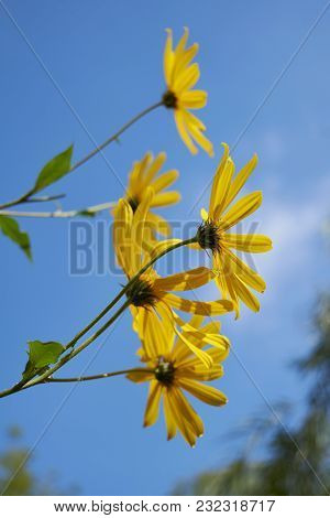 Daisy Flowers. Yellow Flowers Against Blue Cloudy Sky