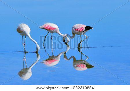 Three Pink Big Birds Flamingo In The Water. Atacama Desert. Chile.