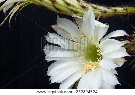 Cactus Flowers Echinopsis Tubiflora, Selective Focus, Black Background