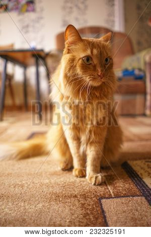 Close up Photo of Red Fluffy Tabby Male Cat with Green Eyes, Home Interior