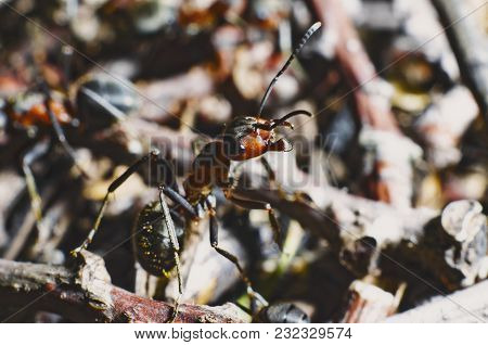 The Red Forest Ant Turned, As If Going Into Battle. Closeup On A Mixed Background. Reminds A Photo O