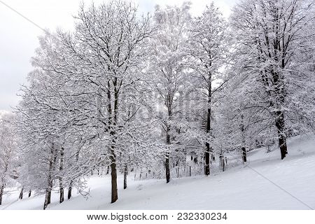 Snow On The Tree Branches. Winter View Of Trees Covered With Snow. The Severity Of The Branches Unde