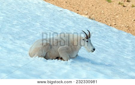 Male Billy Mountain Goat On Snow On Hurricane Ridge In Olympic National Park In Washington State Uni