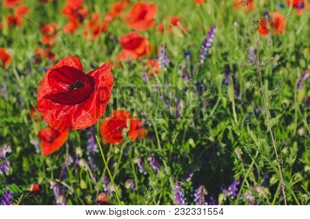 Red Poppy Flowers Blooming In The Green Grass Field, Floral Natural Spring Background, Can Be Used A