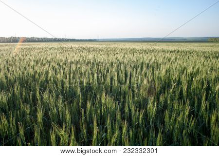 Green Wheat In The Field Early Spring Ripening Ears