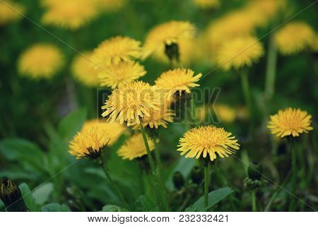 Dandelion Yellow Flower Growing On The Green Meadow In Spring Time, Natoral Seasonal Floral Backgrou
