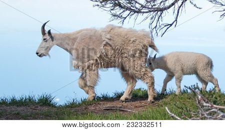 Mother Nanny And Baby Kid Mountain Goats On Hurricane Ridge In Olympic National Park In Washington S