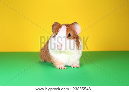 Cute Guinea Pig With Symmetric Pattern. Brown White Little Pet.