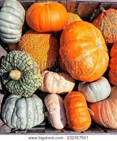 Pumpkin Patch At The Height Of Pumpkin Picking Season.