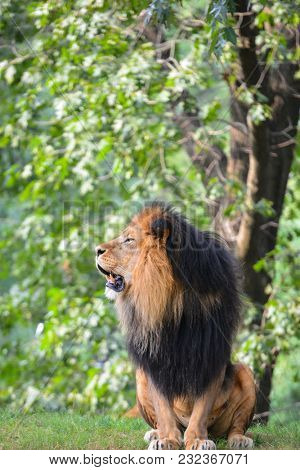 Male lion - King of the jungle