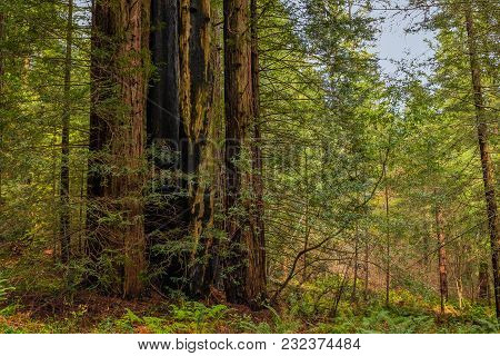 Giant Sequoia Trees And A Sliver Of Blue Sky In The Redwoods Forest  In California