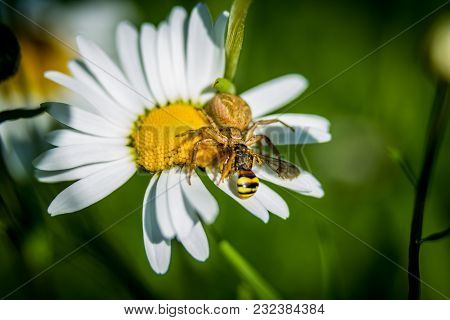 Spider On Daisy Hunting Little Wasp Macro