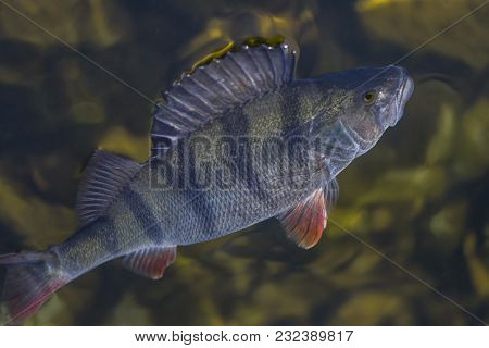 Caught Perch Fish Trophy In Water. Fishing Background