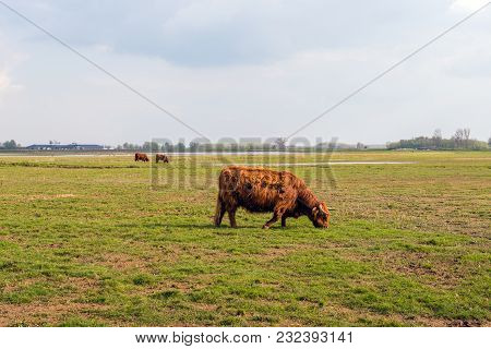 In The Foreground One Grazing Highland Cow In Winter Fur And In The Background Two Other Cattle. The