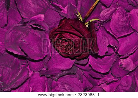 Dark Red Dried Rose Flower On Dry Fragrant Petals Floral Background - Raw Materials For Perfumery, C