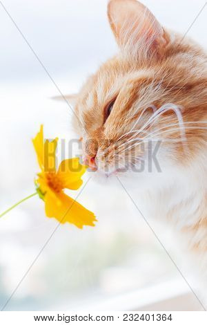 Cute Ginger Cat Smelling A Yellow Flower. Fluffy Pet Frowning With Pleasure. Cozy Spring Morning At