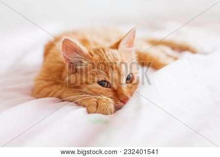 Cute Ginger Cat Lying In Bed. Fluffy Pet Is Gazing Curiously. Stray Kitten Sleep On Bed First Time I