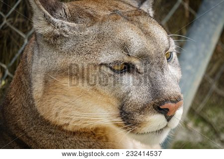 Closeup Of Cougar Head In The Cage