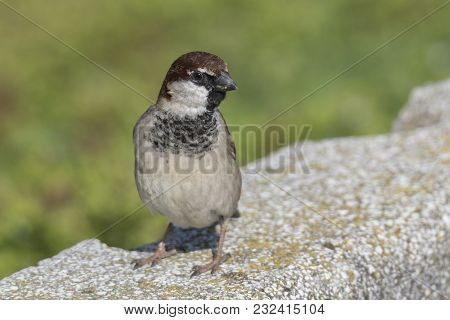 Cute Sparrow In The Garden