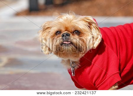 cute shih tzu terrier mix with a red sweatshirt on