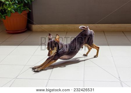 Beautiful Small Brown Dog Stretches Under The Sunlight With Eyes Closed. My Pet