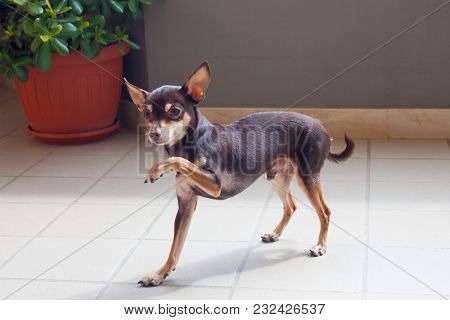 Beautiful Small Brown Dog Is In The Rack Under The Sunlight. My Pet