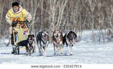 Petropavlovsk, Kamchatka Peninsula, Russia - Feb 25, 2017: Running Alaskan Sled Dog Team Kamchatka M