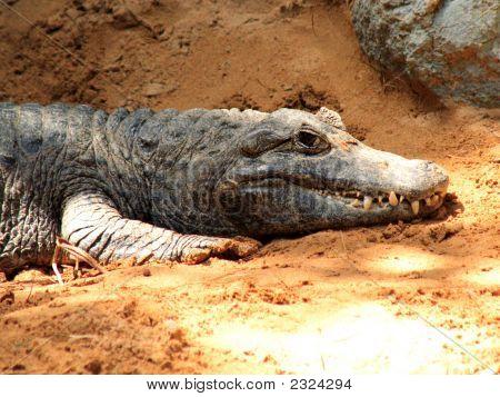 Basking Cayman Crocodile
