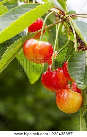 Ripe Cherry On The Branches Of A Tree After A Rain.