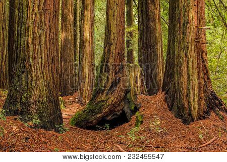 Mossy Tree Trunks Of Giant Sequoia Trees The Redwoods Forest In California