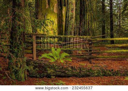 Mossy Tree Trunk And Fern By A Fence Amongst Giant Sequoia Trees The Redwoods Forest In California