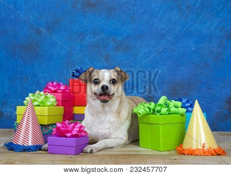 One Chubby Chihuahua On A Wood Floor Surrounded By Colorful Birthday Presents, Party Hats, Mouth Ope
