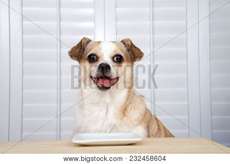 One Senior Chihuahua Dog Sitting At Kitchen Table Waiting For Food. Square White Plate Empty. Window