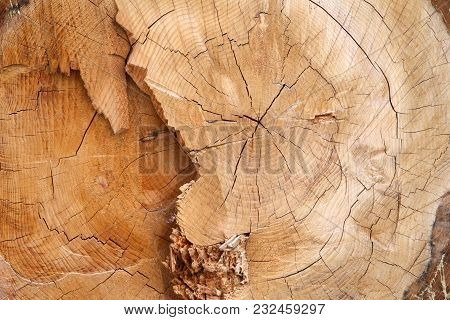 Close Up On Cross Section Of Liquid Amber Tree Cut Down Showing Growth Rings, Wood Cracked.