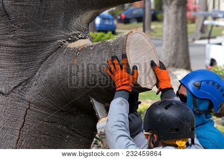 Two Guys Wearing Protective Head Gear Using A Chain Saw To Cut Larger Branch From An Oak Tree, One P