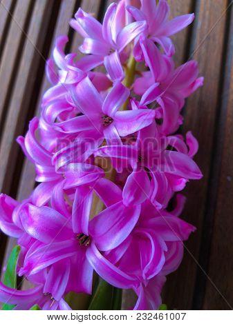 Hyacinth Pink Surprise Dutch Hyacinth , Spring Bulbs, Spring Flowers. The Perfume Of Blooming Hyacin