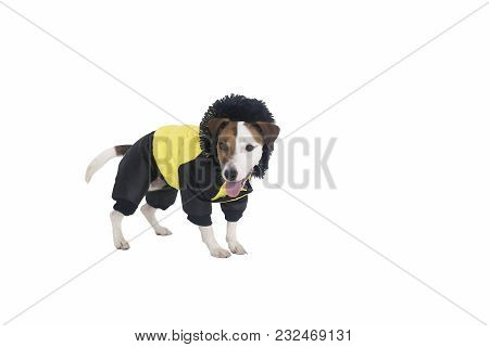 The Jack Russell Clothing On Isolated Background
