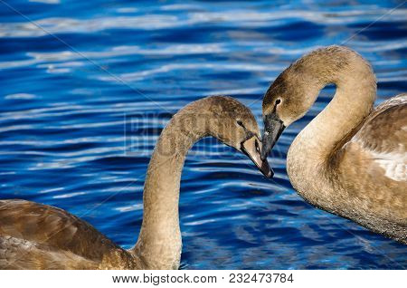 Two Swans Couple In Love In The Shape Of Heart On A Blue Water Background