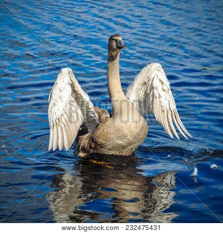 White Swan Is Flapping Its Wings Above Calm Blue Water Surface Background