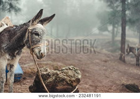 Donkey Standing Sideways In The Pine Forest On Early Misty Morning. Santo Antao Cape Verde.