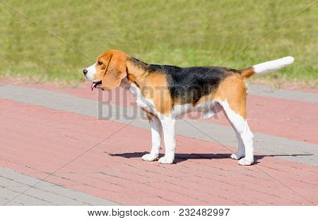Beagle Dog In Profile.  The Beagle Stands In The Park.