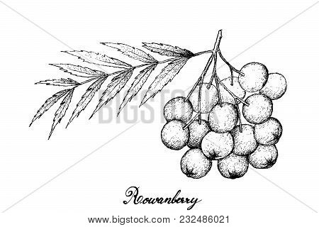 Berry Fruit, Illustration Hand Drawn Sketch Of Rowanberries Isolated On White Background. High In Vi