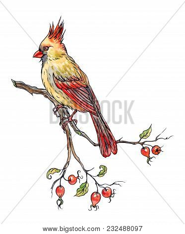 Bird Cardinal On A Branch Of A Dogrose With Fruits, Hand Drawing, Sketch. An Image Of A Bird In Wate
