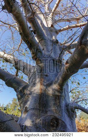 Long-lived Native African Tree Baobab, Adansonia Digitata In Kibbutz Ein-gedi Near Dead Sea, Israel